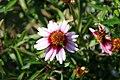 Coreopsis rosea Sweet Dreams 6zz.jpg