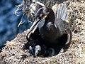 Cormorant Nest (35116228911).jpg
