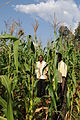 Corn fertilised with urine (6908581437).jpg