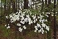Cornus florida UMFS 2.jpg