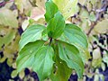 Cornus sanguinea Midwinter Fire 1zz.jpg