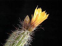 Corryocactus squarrosus