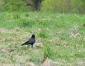 Corvus corone in Aveyron 02.jpg