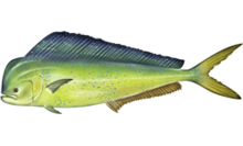 Fish Facts: Is the dolphinfish the perfect game fish?
