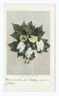 Cotton Blossoms, South (NYPL b12647398-63135).tiff