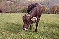Cow (Bos primigenius) near Maggia, Switzerland - 20071027.jpg
