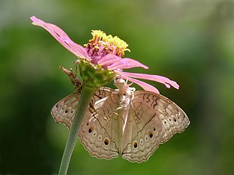 Thomisidae - Crab spider feeding on a Junonia atlites butterfly in a Zinnia elegans flower