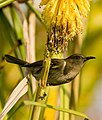 Crescent Honeyeater.jpg