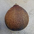Crescentia cujete - mature fruit.jpg