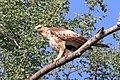 Crested hawk-eagle (Nisaetus cirrhatus).jpg