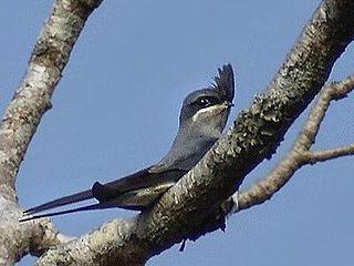 Treeswift Family of birds