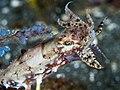 Crinoid cuttlefish (Sepia sp.) (43495625092).jpg