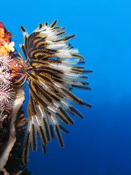 File:Crinoid on the reef of Batu Moncho Island.JPG