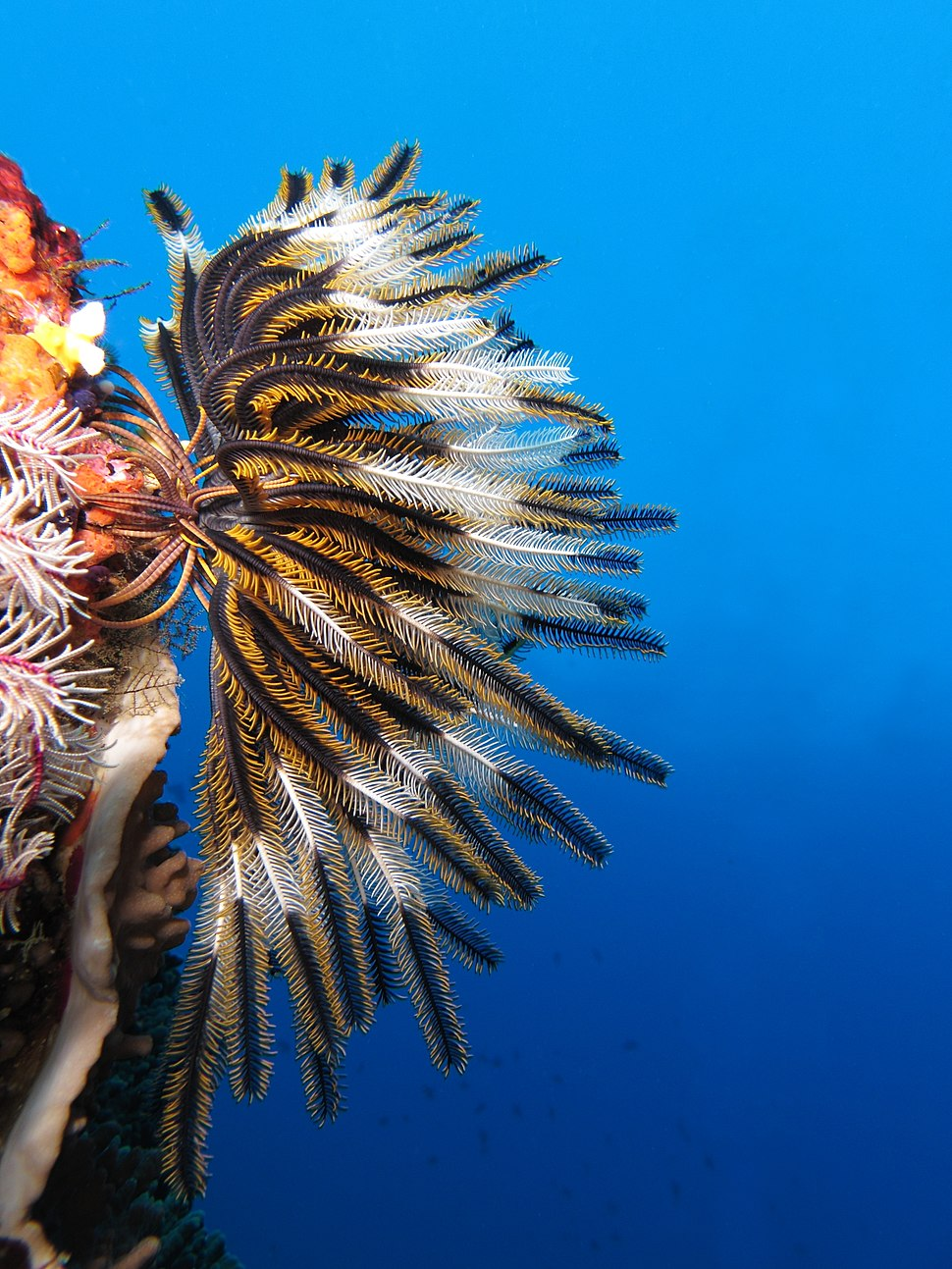 Crinoid on the reef of Batu Moncho Island