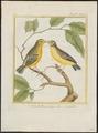 Crithagra mozambica - 1700-1880 - Print - Iconographia Zoologica - Special Collections University of Amsterdam - UBA01 IZ16000325.tif