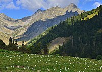 Crocus vallicola. Шафран долинный в естественных условиях. Кавказ. Авадхара.JPG