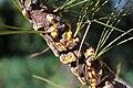 Cronartium ribicola on Pinus strobus abrimaal2013.jpg