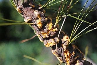 Cronartium ribicola - Cronartium ribicola on Pinus strobus