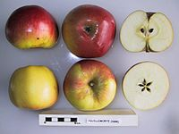 Cross section of Feuillemorte (Seine & Marne), National Fruit Collection (acc. 1950-158).jpg