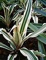 Cryptanthus bromelioides tricolor BotGardBln 12052008C.jpg