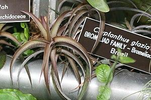 Cryptanthus glaziovii Member of the Bromeliad ...