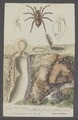 Cteniza - Print - Iconographia Zoologica - Special Collections University of Amsterdam - UBAINV0274 068 14 0002.tif