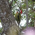 Cuban Green Woodpecker. Xiphidiopicus percussus - Flickr - gailhampshire (3).jpg