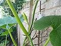 """Cucurbita maxima """"zapallo plomo"""" (Costanzi temp2) yema floral masculina M04 dia-02 cáliz sépalos pétalos pecíolo nerviación tricomas.JPG"""