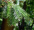 Cunninghamia lanceolata 05.jpg
