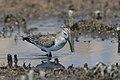 Curlew sandpiper, Calidris ferruginea, at Marievale Nature Reser (30077320767).jpg