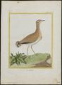 Cursorius gallicus - 1700-1880 - Print - Iconographia Zoologica - Special Collections University of Amsterdam - UBA01 IZ17200297.tif