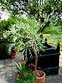 Cussonia paniculata - Tower Hill Botanic Garden.JPG
