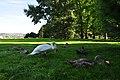 Cygnus olor - Arboretum 2010-09-03 17-15-06.JPG