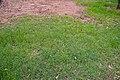 Cynodon dactylon in open forest near Larissa St 7th Brigade Park Chermside IMGP3067.jpg