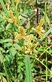 Cyperus malaccensis 1.jpg