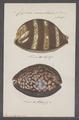 Cypraea mauritiana - - Print - Iconographia Zoologica - Special Collections University of Amsterdam - UBAINV0274 088 02 0019.tif