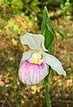 Cypripedium reginae - Presqu'ile.jpg