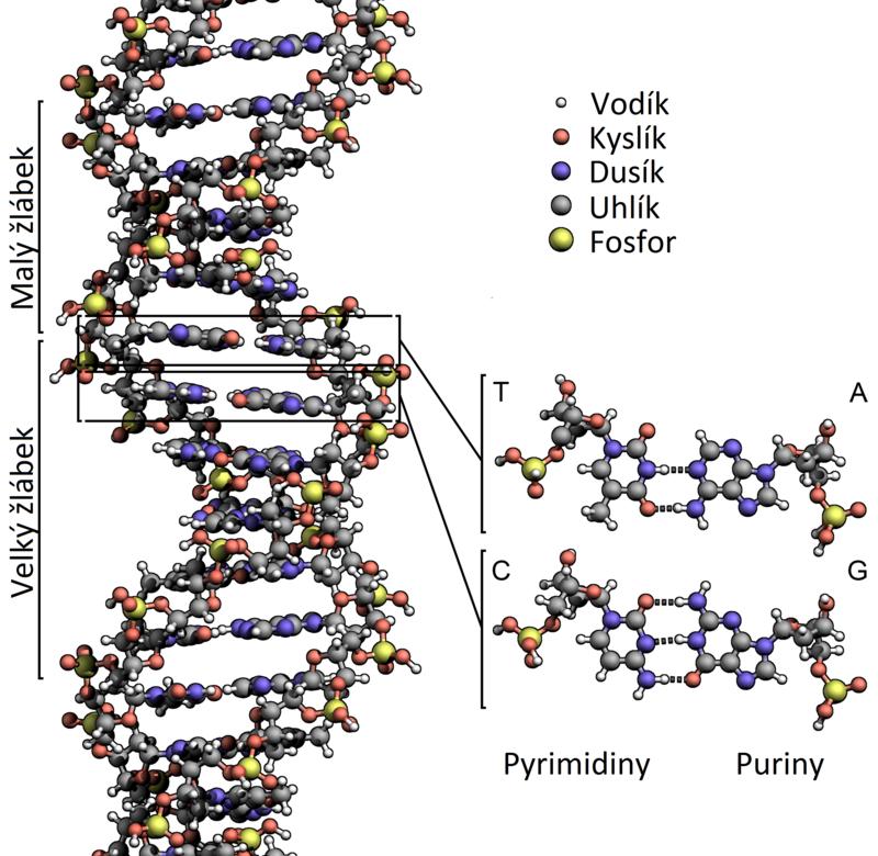Struktura dvoušroubovice DNA. V této formě se vyskytuje většina DNA například v lidských buňkách. Dvoušroubovice je tvořena dvěma řetězci nukleotidů. (CC BY-SA 3.0 / Vojtech.dostal (talk))