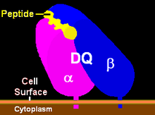 hla dq2 dq8 diabetes mellitus