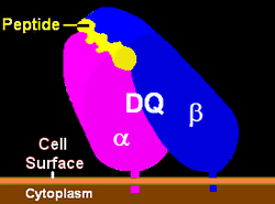 Illustration of HLA-DQ with peptide in the binding pocket