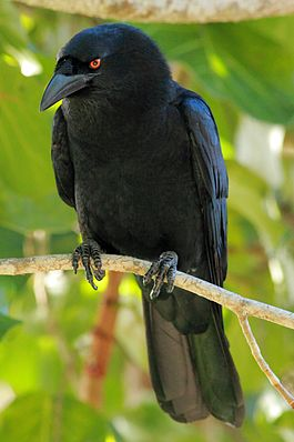 DR White-necked Crow ed2 1.JPG