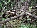 DSC00297kaatuneita puita.jpg
