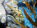 DSC28178, Leafy Sea Dragon, Monterey Bay Aquarium, Monterey, California, USA (8315352687).jpg