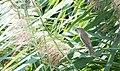 DSC 8858 Rousserolle effarvatte Acrocephalus scirpaceus (50180833053).jpg