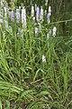 Dactylorhiza fuchsii mont-plaisir-glatigny 60 26062008 09.jpg