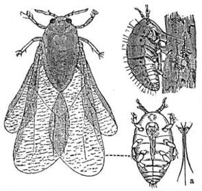 Reblaus (Viteus vitifoliae)