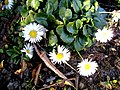 Daisy in February - geograph.org.uk - 688704.jpg