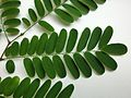 Dalbergia nigra Blatt.jpg