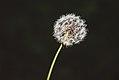 Dandelion Plant - White Seed Head (34705812790).jpg