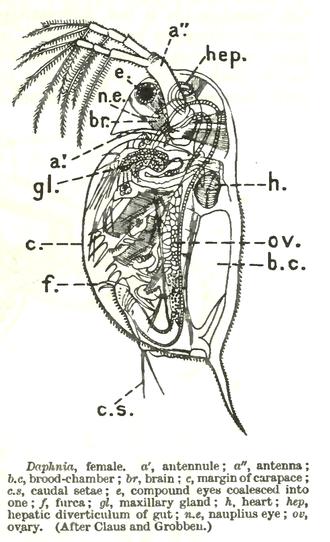 Daphnia - Overview